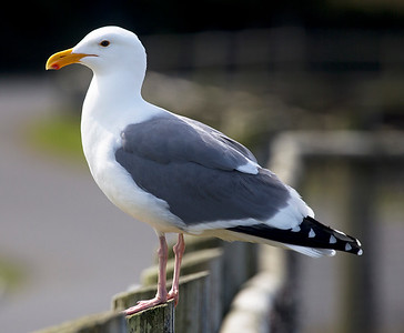 A Herring Gull poses for us.