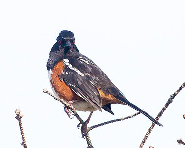 Now we're at the coast.  We meet this BlackHeaded Grosbeak ...