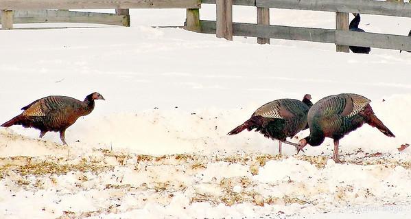 Wild Turkeys, Jackson, NJ