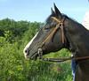 Customized Dickens, Black Quarter Horse, 6/7/2009