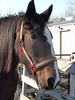 Gorgeous Trixy, American Shire Mare<br /> photo 12/25/2009
