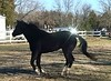 Customized Dickens, black Quarter Horse, volunteered to do a partial Join-Up with Gwen.