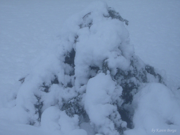 Snow covered bush.<br /> February 10, 2010 Blizzard