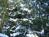 Pine Trees covered in Snow.<br /> December 19, 2009 Blizzard