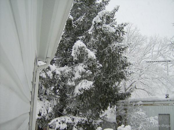 Snow covered Pine Tree, backyard.<br /> February 10, 2010 Blizzard