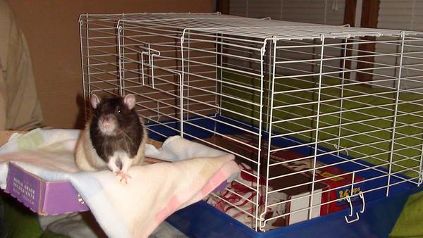 awww, cute rat!
