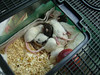 Wanda and Tony, their rescue rat family, Colebrook CT rescue effort