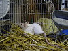 Baby rats, Colebrook CT rat rescue efforts