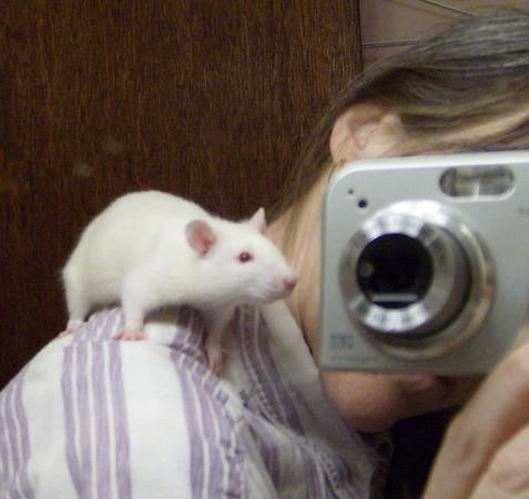 Foster rat with Karen, Colebrook CT rat rescue efforts