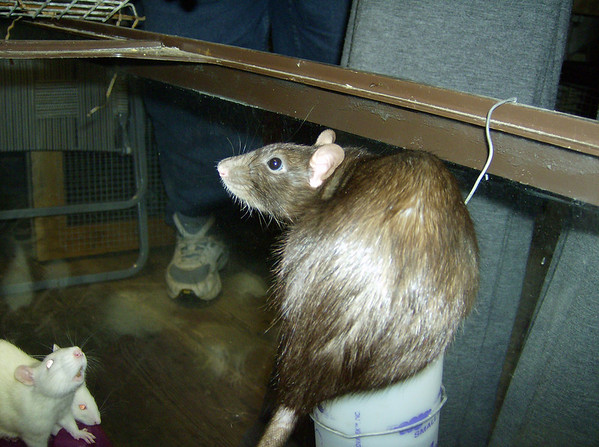 Mom on top of the water bottle. Colebrook CT rat rescue efforts.