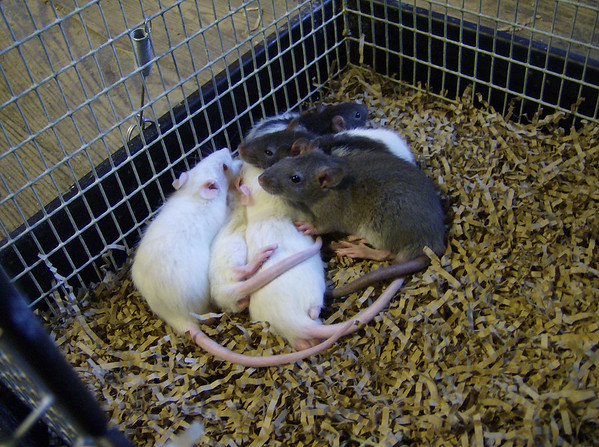 adoptable baby rats at the Colebrook, CT Rat Rescue