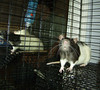 Male rat from the Colebrook Rat Rescue, CT, fall 2007