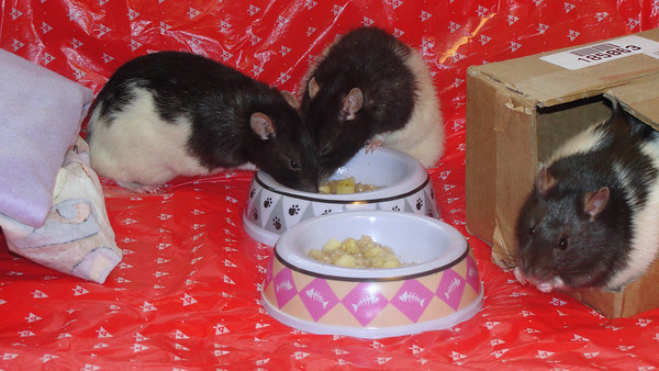 Pet rats enjoy cream of wheat cereal during intros.<br /> L - R = 34, 38 and Jerry