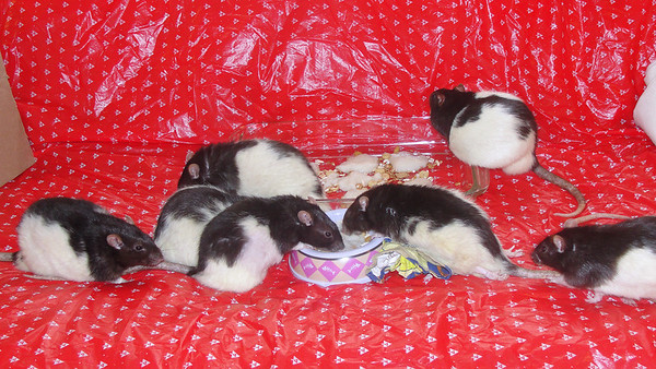 awww, all 7 pet rats getting along well with each other during intros.<br /> left to right = 7, 38, 8, 34, 11, Jerry and 26.