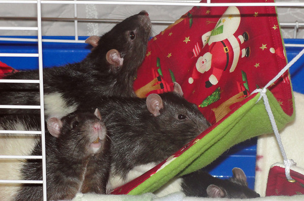 Pet rats meeting their new cagemates.