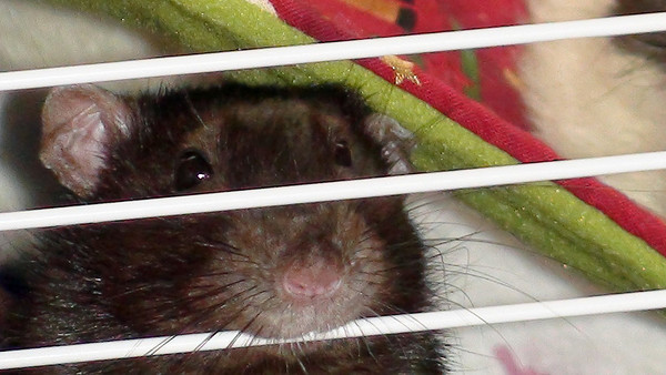 Pet rat looking out of the bars in the intro cage.