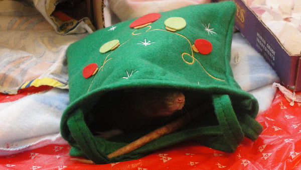 Sweet rat in the holiday bag!