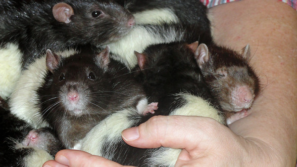 Pet rats enjoy snuggling with each other.