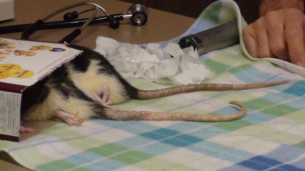 Sweet pet rats at the vet.