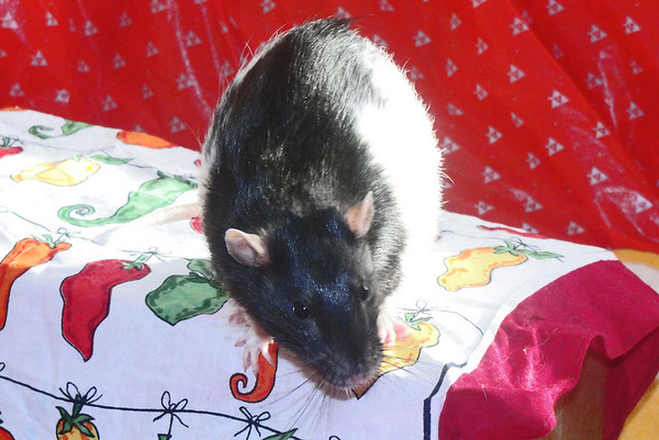 Number rat 38