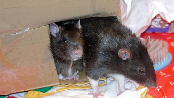 Sweet pet rats, Number 26 on the left