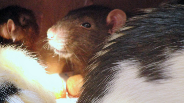 sweet pet rat number 11