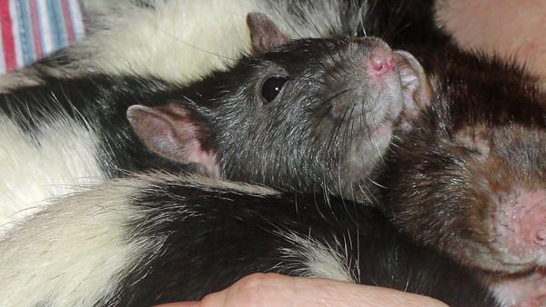Lovee pet rats.