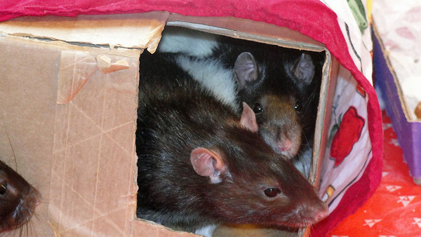 the rattie shuttle is full!