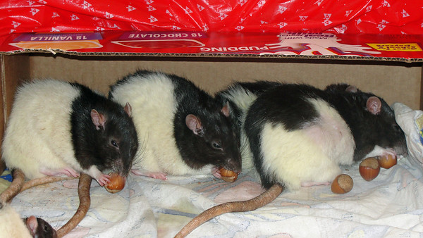 Pet rats and hazelnuts.