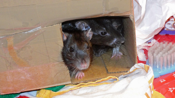 Rats in the travel box.