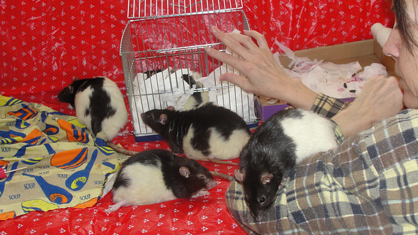 Pet rats on the couch during intros with tiny cage for close bonding.