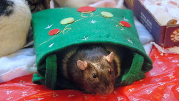 Number rat in a holiday bag!