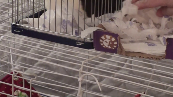 Jerry Rat - stashes paper. The human can't keep up with him!