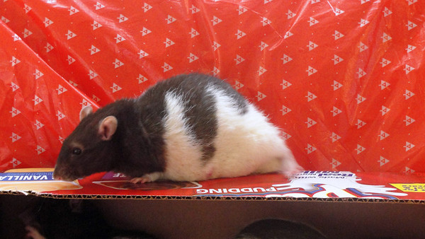 Number rat 7