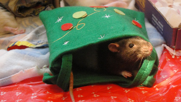 Cute Number rat in a holiday bag!