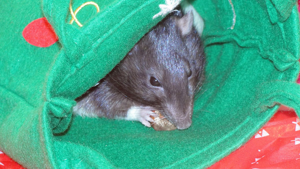 beautiful black hooded number rat with hazelnut in the holiday bag