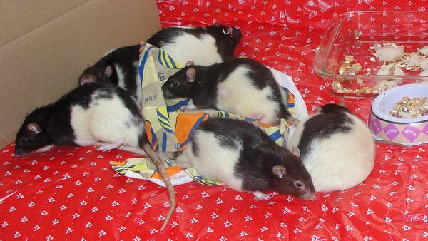 Pet rat intros.