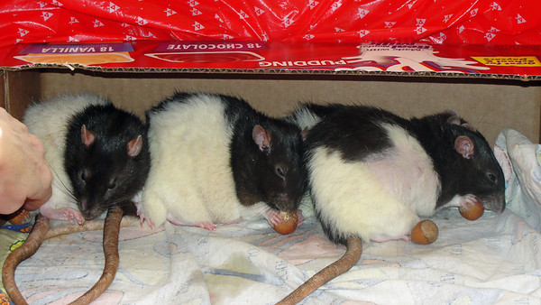 Pet rats intros and hazelnuts.