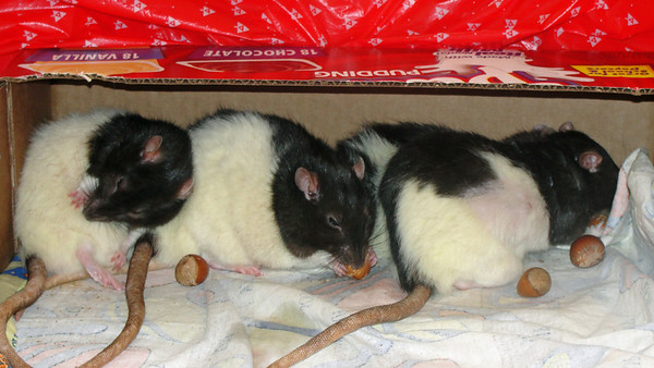 Sweet rats eating hazelnuts, post op number 34 on the right