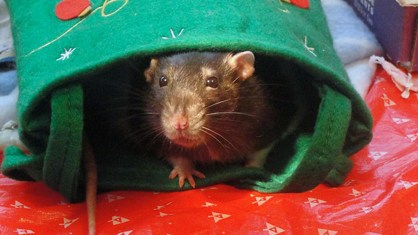Cute Number rat in holiday bag!