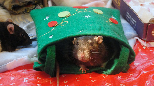 awww, really cute number rat in the holiday bag!