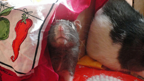 Handsome rat