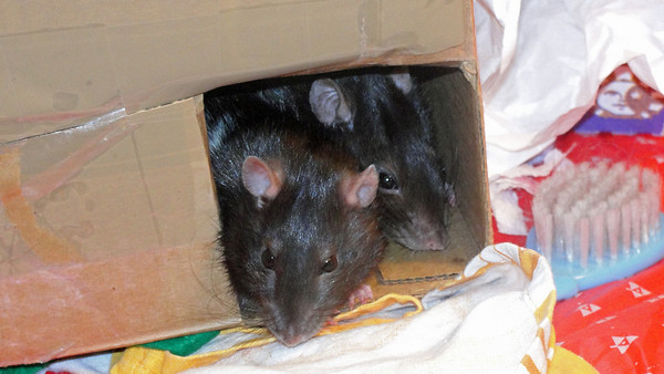 Two number rats in the travel box.