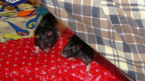 Close up. Pet rats on the couch.