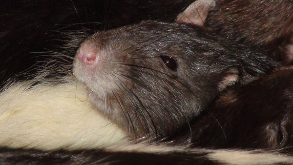 awww, a relaxed pet rat with his friends.