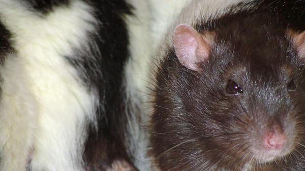 Sweet pet rat