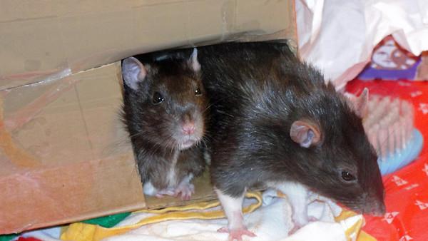 Sweet pet rats.