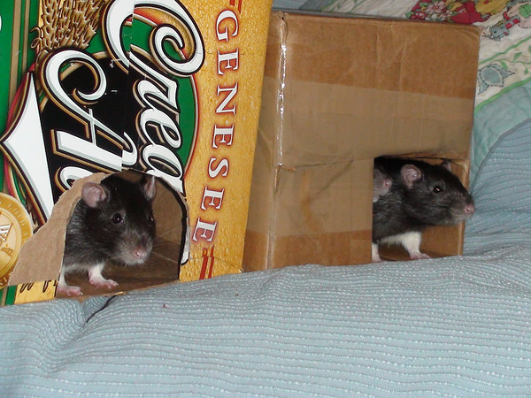 Rats love hidey boxes... <br /> Do you see the little rat nose poking out?