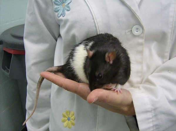 Another adoptable lab rat.  Heavy black markings.