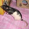 Sweet pet rat, Tennie